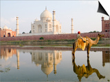 Young Boy on Camel  Taj Mahal Temple Burial Site at Sunset  Agra  India