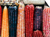 Varieties of Corn that Lacandons Grow in Their Milpas  Selva Lacandona  Naha  Chiapas  Mexico