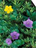 Geranium  Cinquefoil  and Juniper  Denali National Park  Alaska  USA