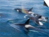 Orca  Frederick Sound  Alaska  USA