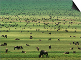 Wildebeests Grazing  Connochaetes Sp  Serengeti National Park  Tanzania
