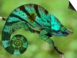 Parson's Chameleon  Calumma Parsonii  Madagascar