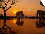 African Elephants  Loxodonta Africana  and Dove at Waterhole  Chobe National Park  Botswana