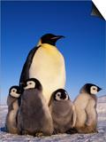 Emperor Penguin with Chicks  Aptenodytes Forsteri  Antarctica
