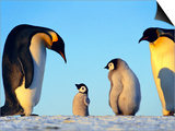 Emperor Penguins Showing Paternal Response to Puppet  Aptenodytes Forsteri  Weddell Sea  Antarctica
