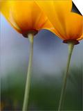 California Poppies  Eschscholzia Californica  Monterey Bay  California