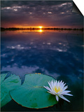 Day-Blooming Water Lily Closing at Sunset  Okavango Delta  Botswana
