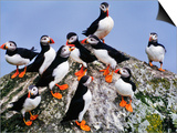 Atlantic Puffin Flock  Fratercula Arctica  Outer Hebrides  Scotland