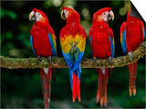 Scarlet Macaws on Branch  Ara Macao  Tambopata National Reserve  Peru