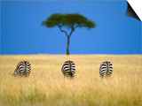 Zebras Grazing  Masai Mara Reserve  Kenya