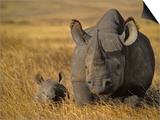 Black Rhinoceros with Young  Diceros Bicornis  Ngorongoro Conservation Area  Tanzania