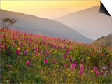 Italy  Umbria  Forca Canapine  Pink Orchids Growing at the Forca Canapine  Monti Sibillini National
