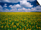 Sunflower Field  Provence  France