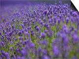 England  Kent  Shoreham  Lavender Fields at Shoreham  in North Kent