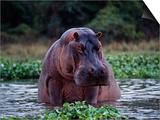 Zambezi River  Hippos Sitting in the Zambezi River  Zambia