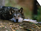 Wolf (Canis Lupus) Lying Down  USA