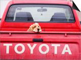 Dog Waiting on Back of Ute