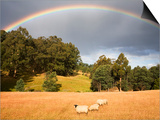 Sheep Grazing under Rainbow