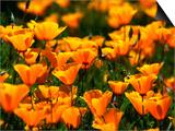 Californian Poppies  USA