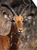 Impala Buck  Kruger National Park  Kruger National Park  Mpumalanga  South Africa