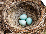 Nest and Eggs of Common Blackbird (Turdus Merula)