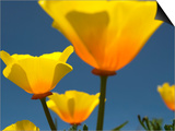 Yellow California Poppies (Eschscholzia Californica)