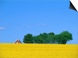Bright Yellow Rapefields and Red Roofed Farmhouse on the Kulla Peninsula  Skane  Sweden