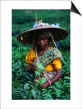 Tea Plucker Picks Leaves from Bush to Make Assam Tea  Guwahati  Assam  India