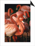 Flock of Greater Flamingos (Phoenicopterus Ruber)  Tanzania