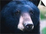 Black Bear (Ursus Americanus)  USA