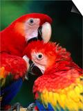 Pair of Preening Scarlett Macaw (Ara Macao)  Puntarenas  Costa Rica