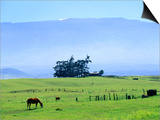 Horses Grazing Beneath the Towering Mauna Kea on Pastoral Parker Ranch at Waimea  Hawaii  USA