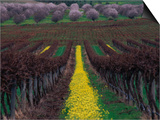 Vineyards and Almond Trees in the Mclaren Vale District  Australia