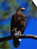 Harris Hawk (Parabuteo Unicintus)  Perquin  El Salvador