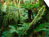 Trees and Ferns in Beech Forest  Oparara  New Zealand