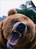 Grizzly Bear (Ursus Arctos)  Denali National Park & Preserve  Alaska  USA