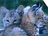 Bobcats (Felis Rufus)  USA