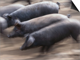 Black Iberico Pigs  Andalucia  Spain