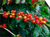 "The Red Coffee ""Cherry "" Arabica Typica  Honaunau  Hawaii (Big Island)  Hawaii  USA"
