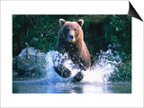 Grizzly Bear Running in Kinak Bay  Katmai National Park  USA