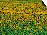 Sunflower Field  Tuscany  Italy