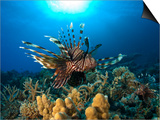 Lion Fish over Reef  Abu Galowa Reef  Fury Shoal  Red Sea