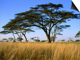 Acacia Trees on Serengeti Plains  Serengeti National Park  Tanzania