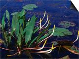 Marine Flora  Okefenokee Swamp Park  Georgia  USA