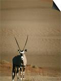 Gemsbok  or South African Oryx ( Oryx Gazella )  in Sand Dunes  Namib Desert Park  Namibia