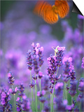 Lavender and Butterflies  Provence-Alpes-Cote d'Azur  France