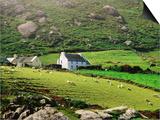 Sheep Grazing Near Farmhouses  Munster  Ireland