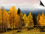 Autumn Yellow Aspens with Snowcapped Fjells in Background