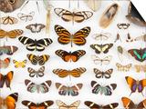 Butterfly Collection at Finca Hartmann