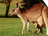 Kangaroo and Joey on Bellarine Peninsula  Barwon Heads  Victoria  Australia